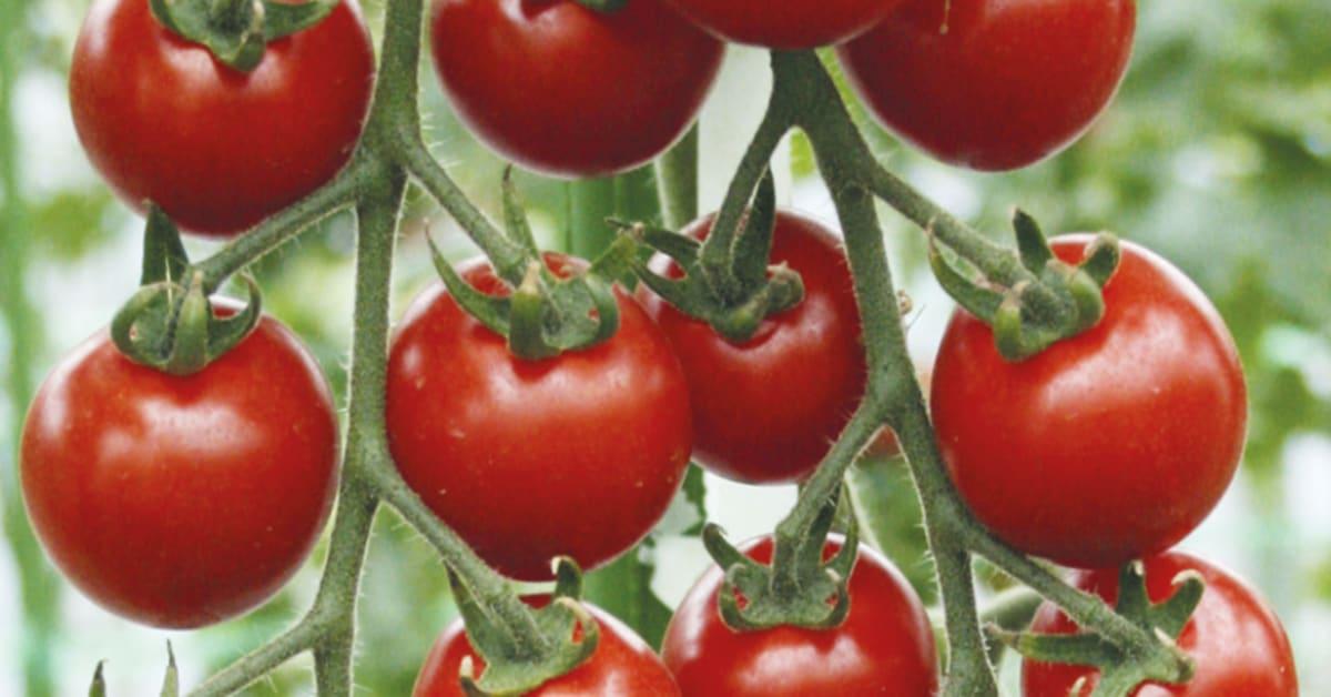 Körsbärs , Tomat 'Suncherry Smile F1' | Trädgårdsdags