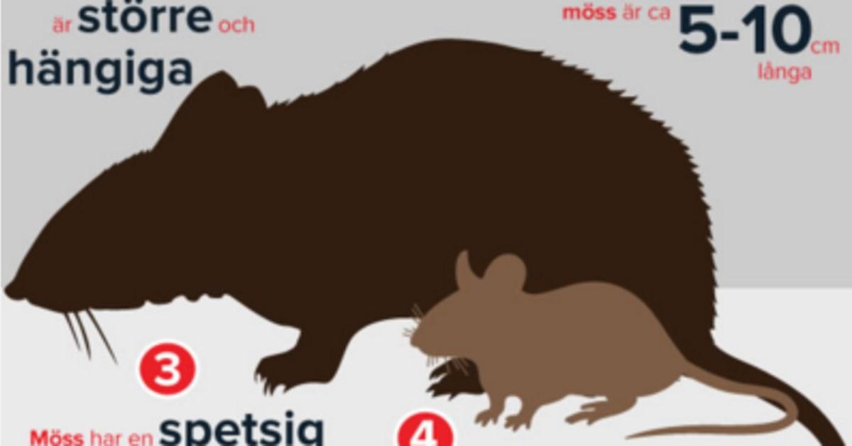 skillnad mellan råtta och mus
