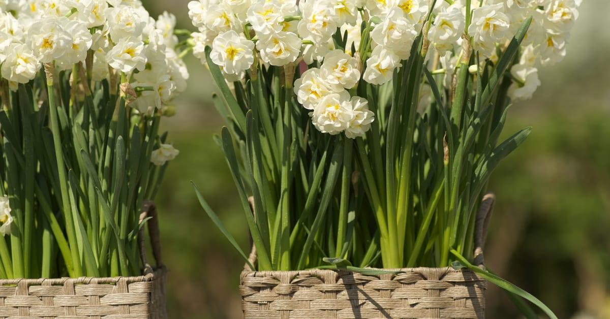 Narcissus  U0026 39 Bridal Crown U0026 39