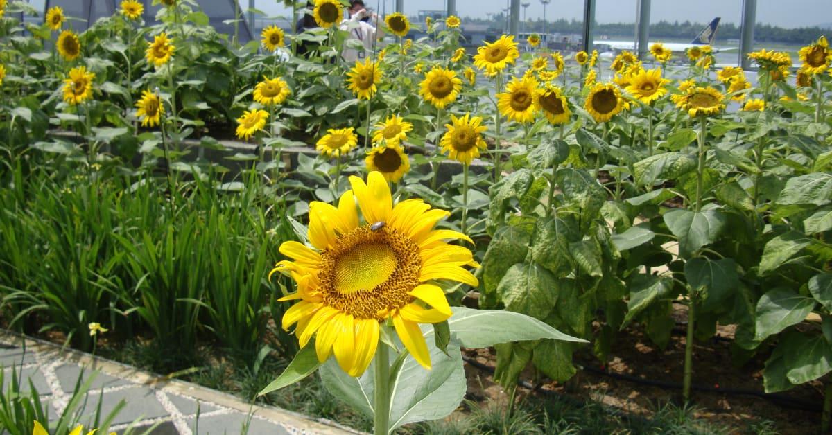 sunflower garden (day) - singapore changi airport