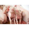 """Einladung zum Pressefrühstück: Die Lebensmittelwirtschaft stellt auf der Photokina aus """"Pigs – Schweine"""" - Eine Fotoausstellung über das Bild der Sau in Kunst, Kultur und Alltag."""