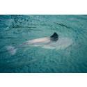 Viktigt beslut om småvalar: Skyddet för tumlare i Östersjön måste öka