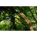 Verdens Skove og Natufonden køber naturskov