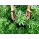 """""""Cannabiskonsum kontra Verkehrssicherheit"""" Expertendiskussion"""