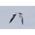 Flyttfåglar med GPS i spännande naturvårdsprojekt