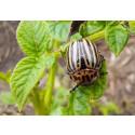 Lyckad bekämpning av koloradoskalbaggar i Skåne