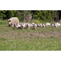 Rekordstor ökning av KRAV- grisar 2011