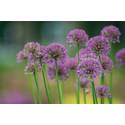 Perennapenkissä suunnittelu on tärkeää – Violetit vuoden perennat siivittävät kukkapenkin pitkään kukintaan