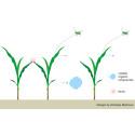 Trängsel får majsen att aktivera försvaret, och doftsignaler får plantor på håll att göra likadant