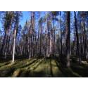 Storsatsning på skogsforskning vid SLU