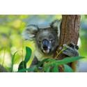 Was ist eigentlich Eukalyptusöl?