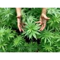 """Kein Freibrief für """"medizinisches"""" Cannabis im Straßenverkehr"""