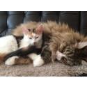 Höftledsdysplasi är ärftligt och vanligare hos stora katter