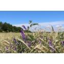 Online-Vortrag: Leguminosen-Getreide-Gemenge – die Anbauvielfalt von Biogaskulturen erhöhen