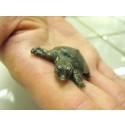 Pääsiäinen tuli ennakkoon - kiinanpehmeäkilpikonnan poikanen kuoriutui SEA LIFEssa