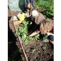 Allotment soil is safer than national guidelines suggest