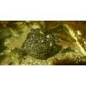 Kan glupske krabber og leppefisk forklare blåskjell-kollapsen?