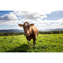 Coronavirus focuses attention on importance of high health status and low reliance on antibiotics in cattle