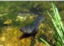 Blankål / Silver eel
