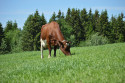 A new trait that has been developed to assist dairy farmers in identifying Norwegian Red genetics with improved feed efficiency.  Photo: Eva Husaas.