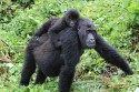 Östlig låglandsgorilla