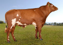 Popular A2A2 Norwegian Red sire 12062 Brumunddal-PP available from August 2020. Photo: Geno.