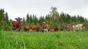 I dette prosjektet ønsker Geno å registrere reelt fôropptak på så mange kyr, at vi i neste omgang kan selektere for egenskapen i avlsarbeidet for NRF. Foto: Jan Arve Kristiansen