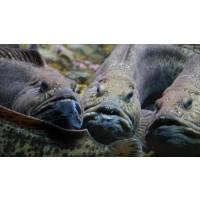Akvaplan-niva søker akvatekniker til Forsøks- og innovasjonsstasjonen FISK