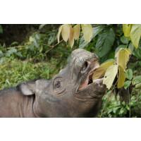 DNA-analys av utrotningshotad noshörning ger hopp inför framtiden