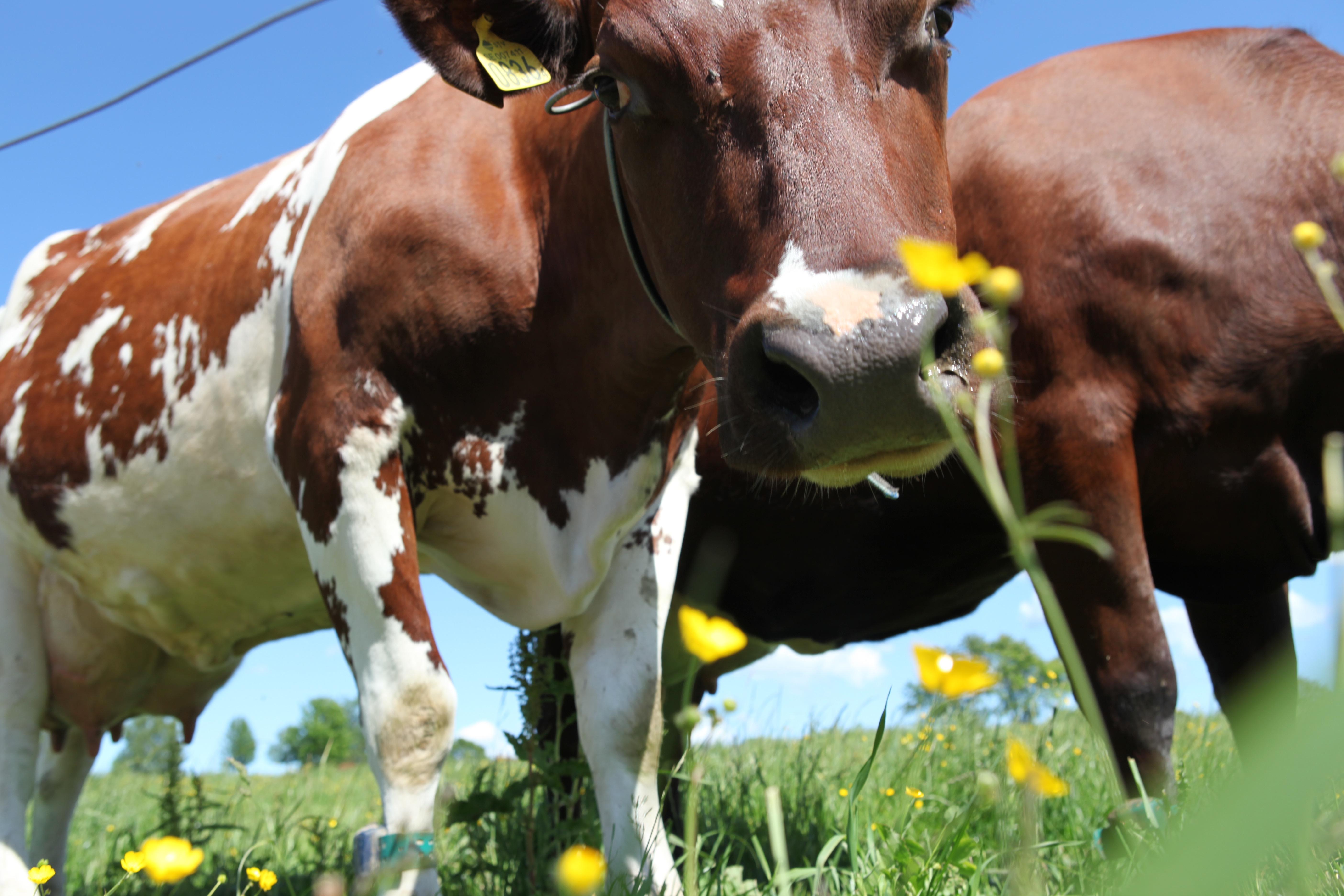 Arla-landmænd slår dørene op til Åbent Landbrug