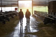 Nye data bekræfter: Arla-landmænd blandt verdens mest klimaeffektive