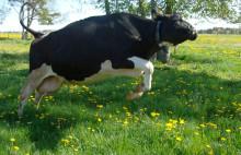 Lehmät kirmaavat jälleen laitumille